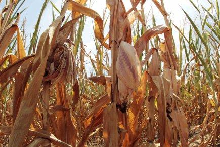 Aux États-Unis, les perspectives de récoltes de maïs... (PHOTO JOHN SOMMERS, REUTERS)