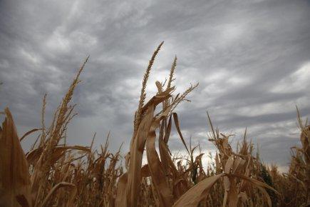 Le ministère de l'Agriculture américain (USDA) a revu à la baisse, vendredi... (PHOTO JEFF TUTTLE, REUTERS)