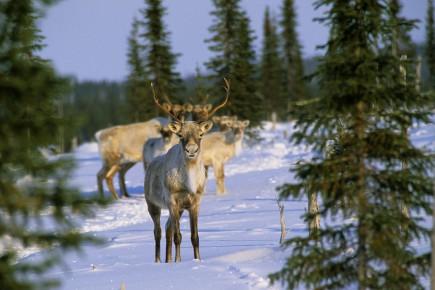 Rappelons que le Québec a interdit la chasse... (Archives La Presse)