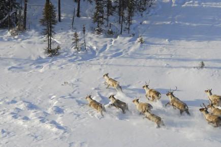 Les fameux caribous ne le savent pas, mais... (Archives)