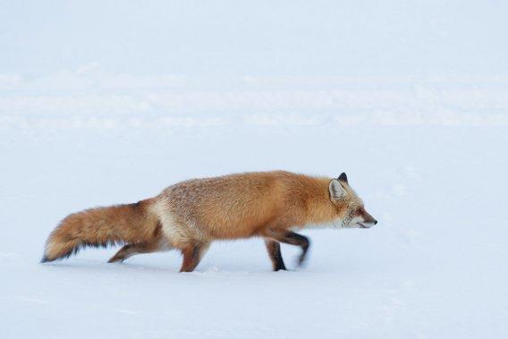 Un renard sous le vent. (Photo: Édouard Plante-Fréchette, La Presse)