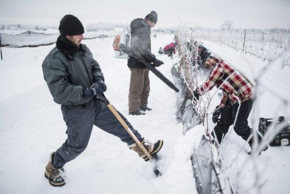 Vendanges hivernales au vignoble Rivière du Chêne. Daniel Poudrier et Daniel Lalande. (Photo: Edouard Plante-Fréchette, La Presse)