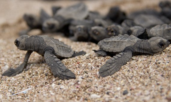 À l'âge adulte, ces tortues atteindront deux mètres. (Photo: David Boily, La Presse)