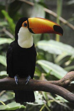 Aux premières heures de la matinée sur le sentier Macuco, on court la chance de croiser des toucans. (Photo Digital/Thinkstock)
