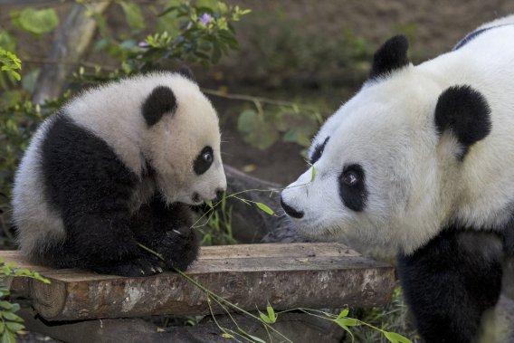 Maman panda Bai Yun et son joli rejeton Xiau Liwu, deux grandes vedettes du zoo de San Diego. (Photo fournie par le San Diego Zoo)