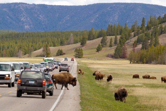 Faites gaffe aux bisons. En voiture comme à pied. (Photo Alain Roberge, La Presse)