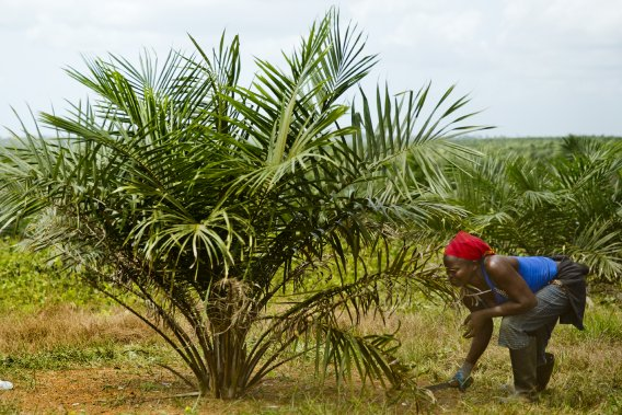 Une employée coupe les mauvaises herbes sous un palmier sur la plantation de Sime Darby. (Photo David Boily, La Presse)