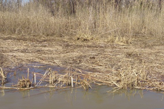 La petite tache brune au milieu de la photo est un ragondin. Ce petit rongeur est la cause de la végétation dévastée tout autour. (PHOTO FOURNIE PAR 5 RIVERS DELTA RESOURCE CENTER)