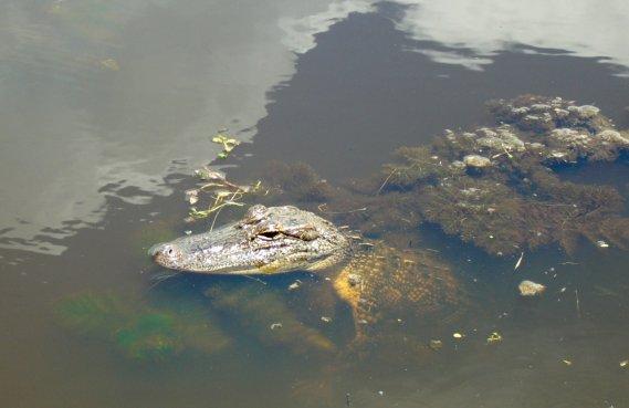 Un alligator dans un marais de la Nature Creaole Trail. (Photo Simon Chabot, Archives La Presse.)