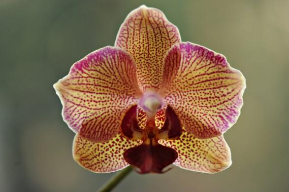 Les phalaenopsis sont les orchidées les plus répandues sur le marché. (Photo André Pichette, Archives La Presse)