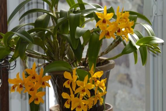 Les cattleyas à petites fleurs sont souvent très prolifiques. (Photos archives La Presse)