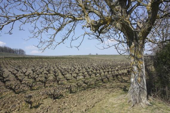 Les vignobles de Gaillac figurent parmi les plus anciens de France. (Photo Sylvain Sarrazin, La Presse)
