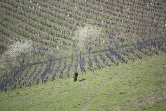 Un vignoble de Gaillac, au printemps, prêt à reprendre vie. (Photo Sylvain Sarrazin, La Presse)