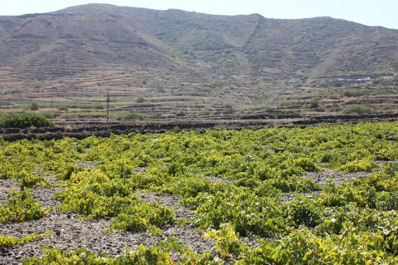 Le contraste dramatique du vignoble Sigalas. (Photo fournie par Wines of Santorini)
