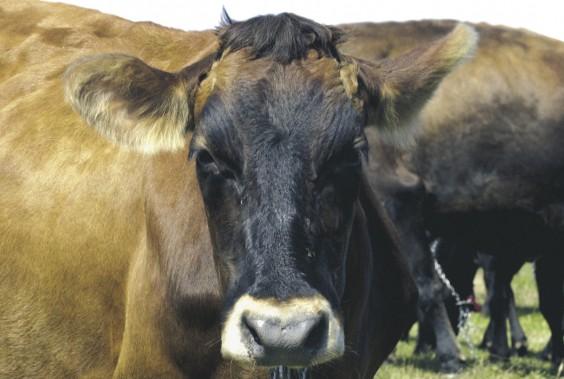 Il ne resterait plus qu'un millier de vaches de race canadienne. (PHOTO ROBERT SKINNER, ARCHIVES LA PRESSE)