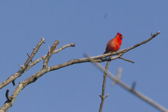 Un cardinal rouge. (Photo Ivanoh Demers, La Presse)