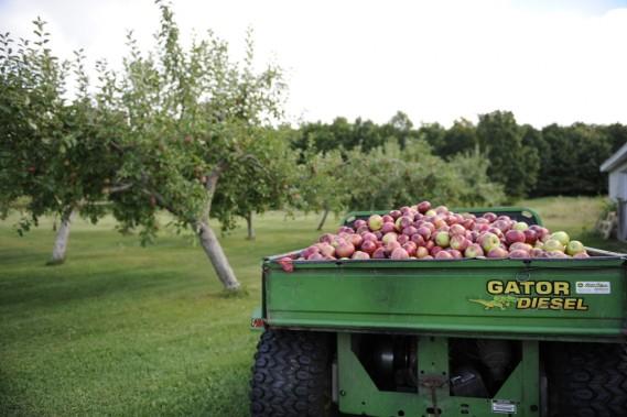 C'est la saison des pommes au vignoble du Marathonien. (Photo Catherine Lefebvre, collaboration spéciale)