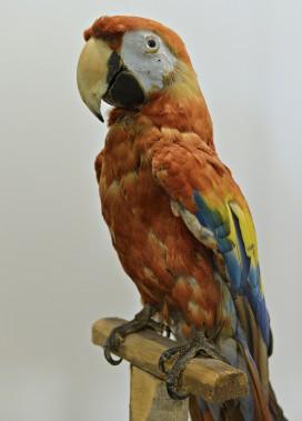 Spécimen adulte naturalisé d'ara rouge (<i>ara macao</i>) appartenant à la famille des <i>psittacidae</i>. Don du Musée du Québec (années 1970). Collections de l'Université Laval (Le Soleil, Pascal Ratthé)