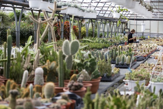 En tout, l'entreprise cultive 300 variétés de cactus. (Photo François Roy, La Presse)