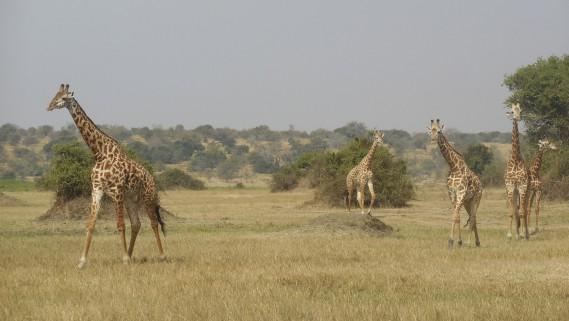 Un troupeau de girafes déambule avec grâce dans le parc national de l'Akagera. (Photo Jean-Thomas Léveillé, La Presse)