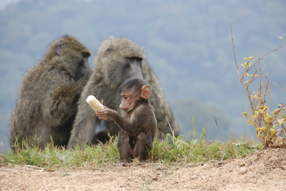 Une famille de babouins vaque à ses occupations près du parc national de Nyungwe. (Photo Jean-Thomas Léveillé, La Presse)