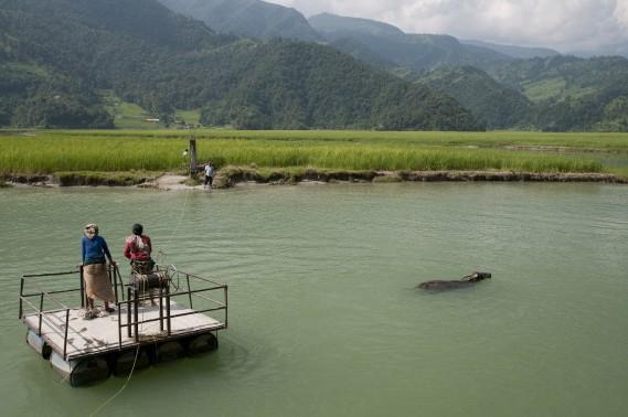 Sur la rive nord du lac Phewa, des villageois tentent en vain de faire traverser leur buffle. (PHOTO MARIE-SOLEIL DESAUTELS, LA PRESSE)