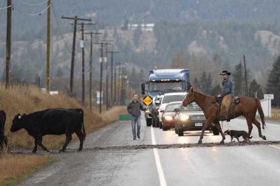 Entre Kelowna et Sun Peaks, sur la route 97, le trajet est marqué par le passage de troupeaux de boeufs. (Photo Bernard Brault, La Presse)