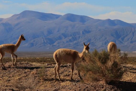 Un groupe de vigognes broute sur la puna, plateau désertique d'altitude. Apparentée au lama, la vigogne n'est pas domesticable. (Photo Marc Tremblay)