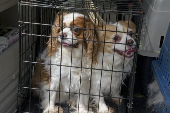 Ces chiens ont été conduits de Val-des-Monts jusqu'aux locaux de la SPCA-Outaouais, à Gatineau, par un groupe d'amoureux de l'espèce canine. (Martin Roy, LeDroit)