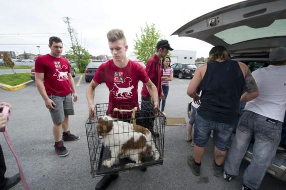 Les employés de la SPCA-Outaouais aident la «Meute de l'Outaouais» à transporter les chiens vers l'intérieur. (Martin Roy, LeDroit)