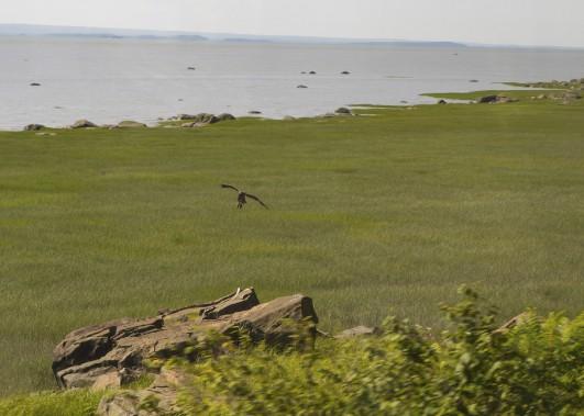 Des aigles s'amusent parfois à suivre le convoi, qui roule à 50 km/h maximum (Le Soleil, Caroline Grégoire)
