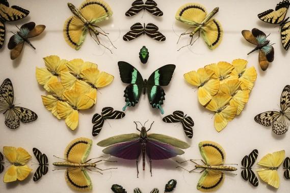 De nombreux spécimens de papillons (Patrick Woodbury, LeDroit)