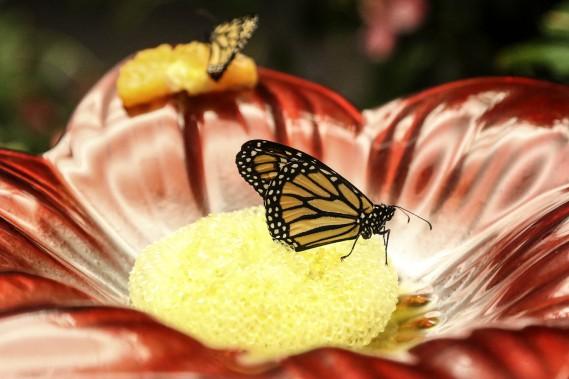 Un papillon monarque (Patrick Woodbury, LeDroit)
