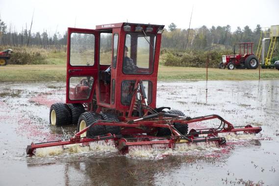 Pour récolter les fruits, on inonde le champ et on utilise un tracteur. (Martin Roy, LeDroit)