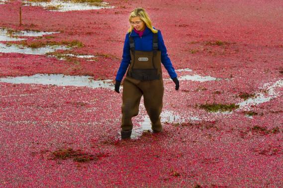 Amélie Chouinard se promène au beau milieu d'une mer de canneberges. (Martin Roy, LeDroit)