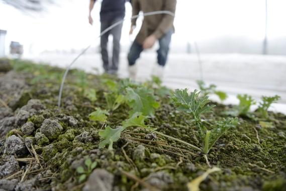 Faire pousser des légumes en hiver en utilisant un système de bâches est peu coûteux. (Photo Le Progrès-Dimanche, Jeannot Lévesque)