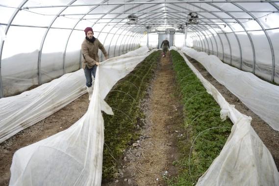 Faire pousser des légumes en hiver dans une région nordique: c'est le défi un peu fou que s'est lancé la coopérative de solidarité Les Artisans paysans. Elle en est à sa cinquième récolte dans deux serres non chauffées, à Chicoutimi. Cette culture hivernale est réalisée grâce à une technique qui suit le principe des «couches d'oignon», les légumes étant recouverts de différentes bâches pour conserver la chaleur du sol. (Photo Le Progrès-Dimanche, Jeannot Lévesque)