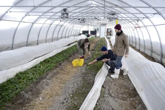 Amira Fortin, Mikael Block et Olivier Tremblay ont procédé cette semaine à leur cinquième récolte de salades et de choux kale produits dans des conditions hivernales. (Photo Le Progrès-Dimanche, Jeannot Lévesque)