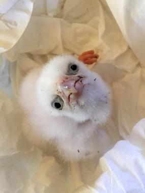 Un poussin de faucon pèlerin albinos, une espèce rare qui vit en Patatgonie, a été sauvé d'un trafic international qui destinait des oeufs volés dans les montagnes chiliennes à Dubaï, où leur prix peut atteindre 20 000$. (Photo Service de protection des animaux chiliens)