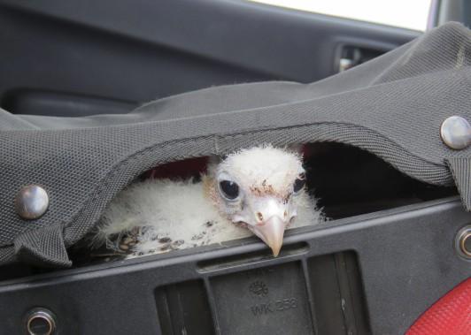 Après quelques semaines, l'oiseau a été retourné dans son habitat naturel. (Photo Service de protection des animaux chiliens)