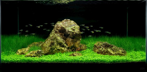 En <i>aquascaping</i>, l'accent est mis davantage sur les végétaux et la mise en scène que surles poissons, qui s'y intègrentsouvent par petits bancs discrets. (Tirée du site www.pinterest.com par Jeff Senske)