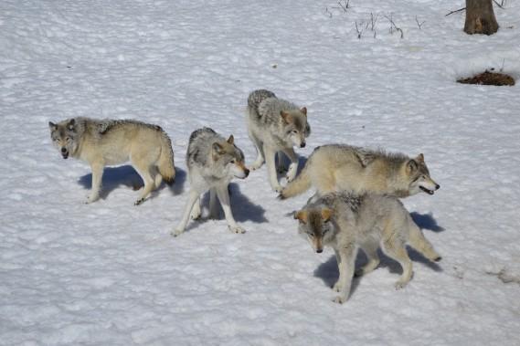 Une petite balade en compagnie des animaux du Parc Oméga. (Benoit Sabourin, LeDroit)