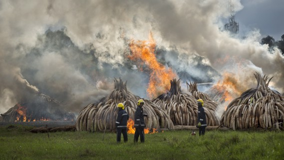 Les 16000défenses incinérées samedi représentent la quasi-totalité du stock d'ivoire kényan, constitué depuis 1989. (AP, Ben Curtis)