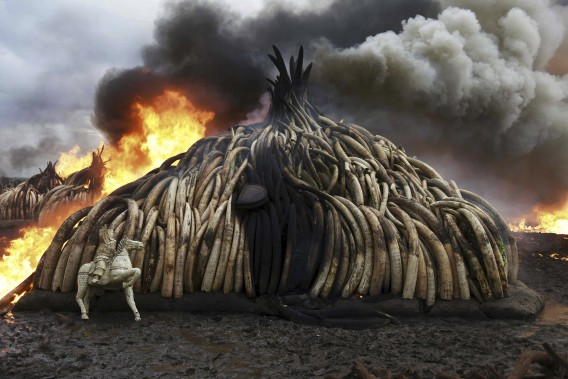 Environ 5% du stock mondial d'ivoire est ainsi parti en fumée samedi. (AFP, Fredrik Lerneryd)