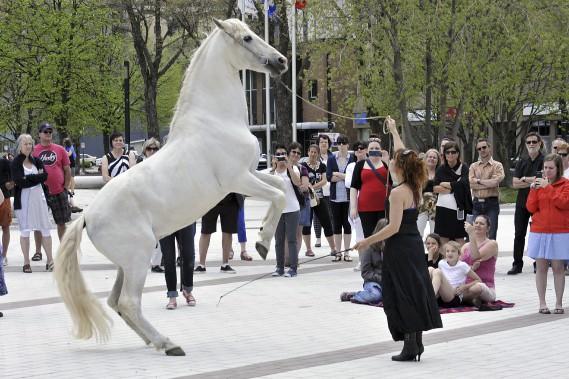 Orfeu a effectué quelques prouesses devant les personnes réunies à la Place du Citoyen, mercredi midi. L'étalon blanc fait partie du groupe de cinq chevaux qui participent au spectacle Les Filles de la Forêt. (Photo Le Quotidien, Rocket Lavoie)