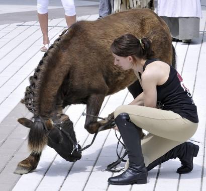 Le poney Berlioz a fait la démonstration de quelques-unes de ses aptitudes pour le public. (Photo Le Quotidien, Rocket Lavoie)