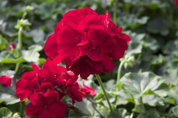 Le Géranium Calliope Dark Red (soleil, mi-ombre) se distingue par son énorme inflorescence et son rouge profond. (Mélissa Bradette)