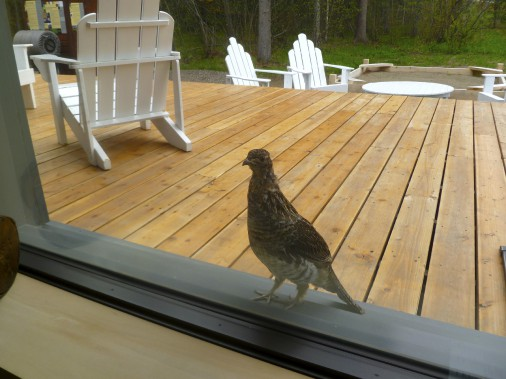 Baptisée Paméla, cette perdrix apprivoisée frappe la fenêtre avec son bec pour quémander de la nourriture. (Photo collaboration spéciale Michèle LaFerrière)