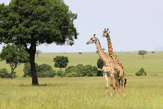 Duo de girafes aperçu lors d'un safaridans la réserve nationale du Massaï Mara, au Kenya. (Crédit photo: Sarah-Émilie Nault)