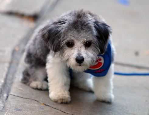 Même ce chien était vêtu aux couleurs des Cubs. (Photo Jerry Lai, USA Today Sports)